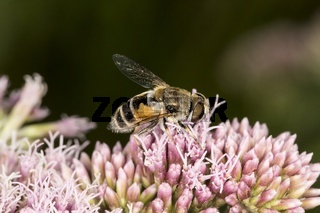 Eristalis tenax, Mistbiene, Männchen an Wasserdost