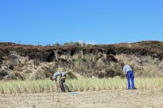 Anpflanzen von Strandhafer zum Dünenschutz