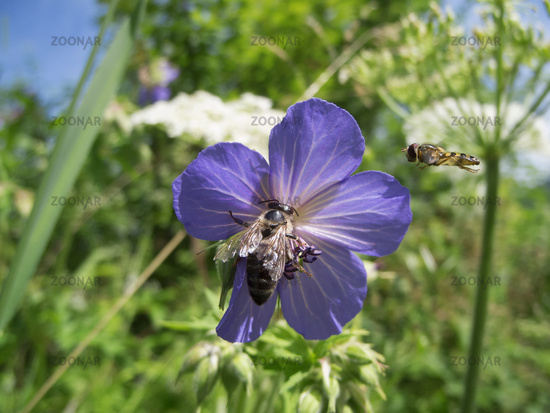 Geranium pratense with bees Wiesenstorchschnabel