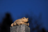 Amphibian common toad (bufo bufo)