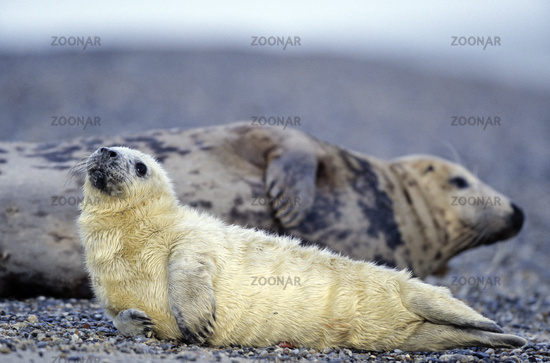 Gray Seal cow and pup on the beach