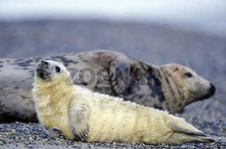 Kegelrobben-Weibchen und Robbenbaby mit sichtbaren Nabelschnurresten / Gray Seal cow and pup with visible rests of the umbilical cord - (Grey Seal - Horsehead Seal) / Halichoerus grypus