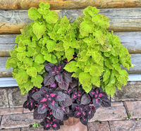 Mix of two different varietes of coleus in pot - ornamental plant with variegated foliage