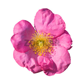 Wild rose pink and yellow isolated on white