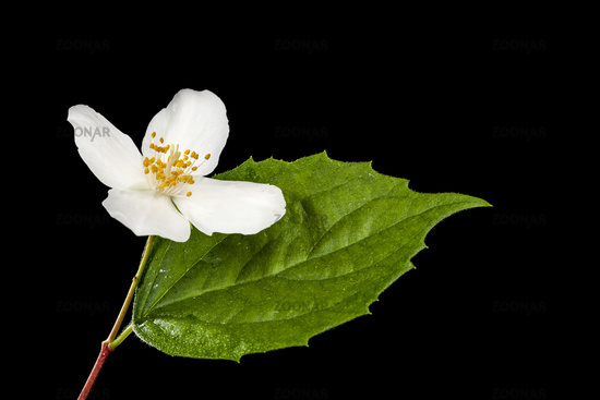 Single blossom of philadelphus coronarius with leaf