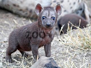 Junge Tüpfelhyäne, Kruger Nationalpark, Südafrica; young hyena, south africa, wildlife, Crocuta crocuta