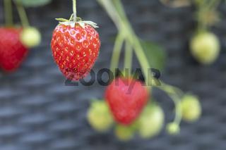 Reife Erdbeeren in einem Blumenkasten
