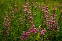 Phlomoídes tuberósa blooms