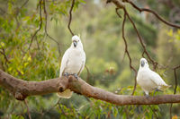Happy cockatoos on a tree branch in Australian bush