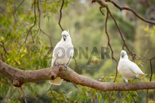 Happy cockatoos on a tree branch in Australian bush