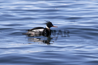 male red-breasted merganser floating on the water winter day
