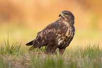 Common buzzard sitting on the ground in autumn nature.