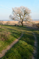 Blooming almond tree in spring in Burgenland