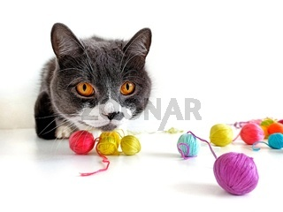 Gray cat with yellow eyes hunts and looks at the ball yarn.