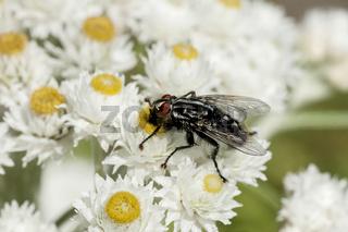 Fleischfliege (sarcophagidae) auf weißen Blüten