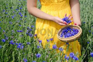 farm woman in yellow dress hands with red nails pick blue cornflower flowers herb to wicker dish in agriculture field.