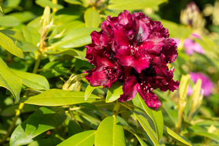 Rhododendron Hybrid Midnight Beauty, Rhododendron hybrid