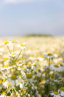 chamomile field on a Sunny summer day
