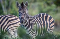 Zebra starring at the camera in the bush.