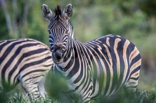 Zebra starring at the camera in the bush.