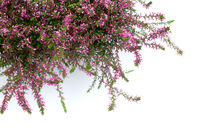 Pink Heather Flowers Isolated
