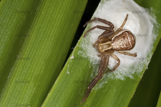 Swamp crab spider