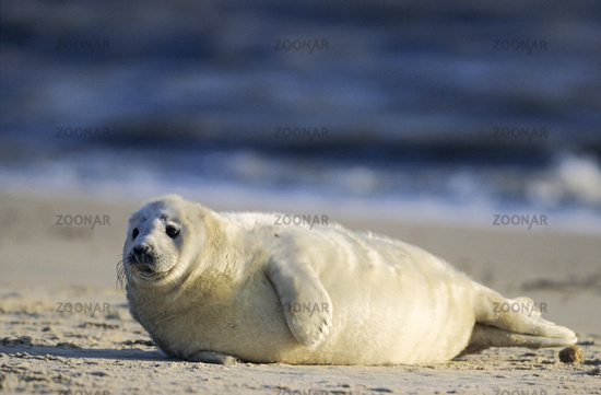 Grey Seal pup lying on the beach