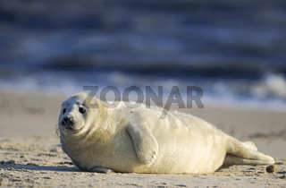 Kegelrobbenbaby liegt aufmerksam die Umgebung beobachtend am Strand / Grey Seal pup watching wakefully the environment on the beach - (Gray Seal - Atlantic Grey Seal) / Halichoerus grypus