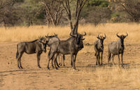 Wildebeests standing a small group in the savannah