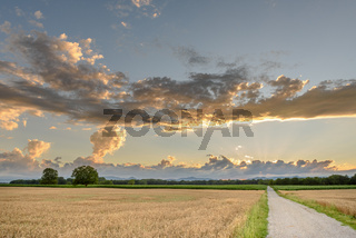 Wheat field in summertime in the French countryside.
