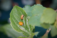 freshly hatched ladybird with the empty pupa-case on a leaf