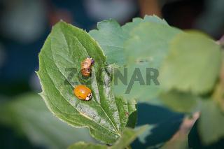 frisch geschlüpfter Marienkäfer mit der leeren Puppenhülle