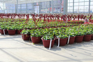 Rows of strawberry plants growing in hanging baskets in a greenhouse