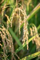 Nice close up to rice seeds in ear of paddy