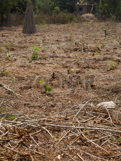 Cassava Stämme nach der Ernte auf dem Feld