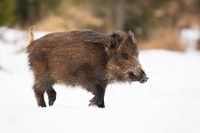 Wild boar going on white meadow in wintertime nature