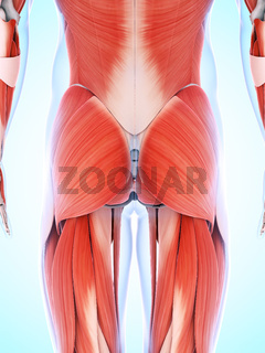 3d rendered illustration of the male musculature