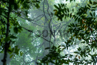 Lianen in den Bäumen des Gunung Leuser National Park auf Sumatra