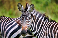 Zebra at Lake Mburo National Park in Uganda (Equus quagga)