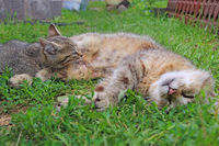 Gray kitten sucking milk from mother cat laying on green grass. Little kitten sucking milk