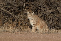 Bobcat (Lynx rufus) Bosque del Apache National Wildlife Refuge New Mexico USA