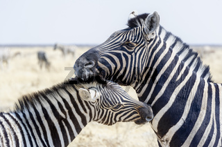 Namibia, Africa. Etosha