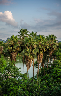 Palmtrees growing on the shore of  Li river in Guilin
