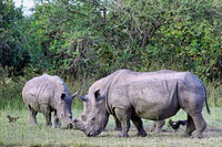 Rhinos at Ziwa Rhino Sanctuary, Uganda