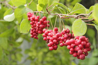 Red fruits of schisandra growing on branch in row. Clusters of ripe schizandra. Crop of useful plant