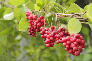 Red fruits of schisandra growing on branch in row. Schizandra on liana in garden