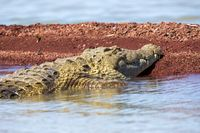 big nile crocodile, Chamo lake Falls Ethiopia
