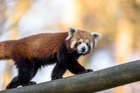 Red panda or Lesser panda, Ailurus fulgens, walking on a tree trunk