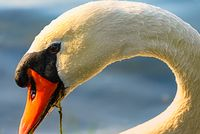 Portrait of a swan on the lake