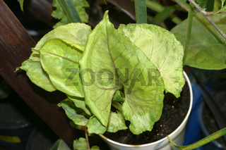 Syngonium 'Butterfly Allusion' potted house plant